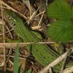 Lacerta_viridis02