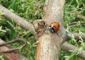 FL ladybug