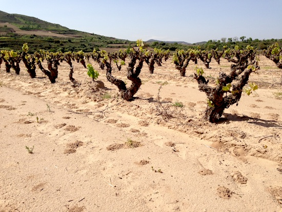 Gaudium (pre-phylloxera) vineyards in Cenicero area