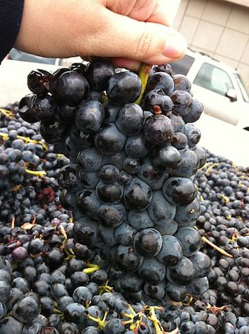 Cluster of Barbera grapes. Photo from Wikipedia.