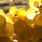 Riesling grapes at Paetra