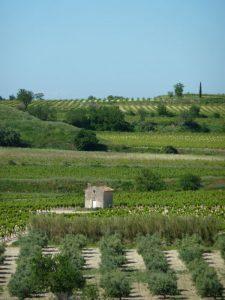 La_Dent_Picpoul_vineyard