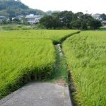 Rice growing in Japan