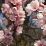 Prunus_armeniaca_(Mandan)_Apricot